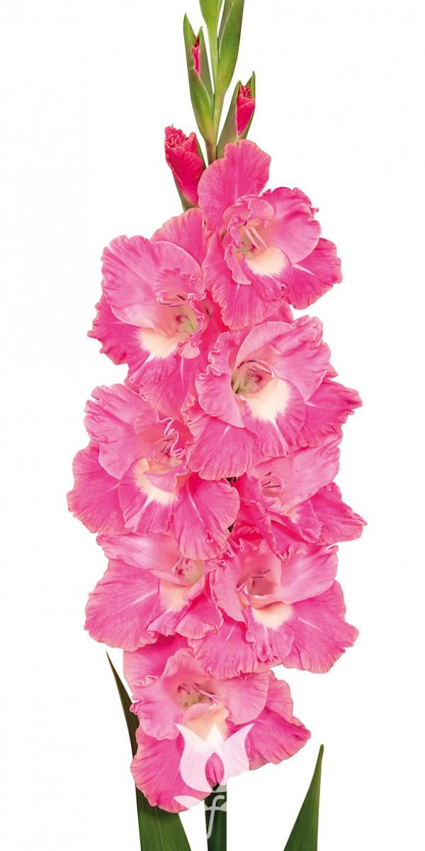 Gladiolus Pink Parrot Details